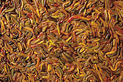 Squirming flesh-colored marine worms for sale in a plastic tub in the Qing Ping Market. They are sold (not as bait) but as food, along with plump pink silkworm pupae and shiny black hard-shelled water beetles.   Guangzhou Province, China. (Man Eating Bugs page 86,87)