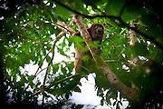 Volta Redonda_RJ, Brasil.<br /> <br /> Floresta de Cicuta em Volta Redonda, Rio de Janeiro. Na foto Bugio <br /> <br /> Cicuta Forest in Volta Redonda, Rio de Janeiro. In this photo the monkey Alouatta.<br /> <br /> Foto: JOAO MARCOS ROSA / NITRO