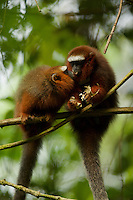 Dusky Titi Monkeys (Callicebus discolor) feeding at the Tiputini Biodiversity Station, Orellana Province, Ecuador. The smaller monkey on the left is a female named Basil and her brother Bandito is on the right with a radio collar.