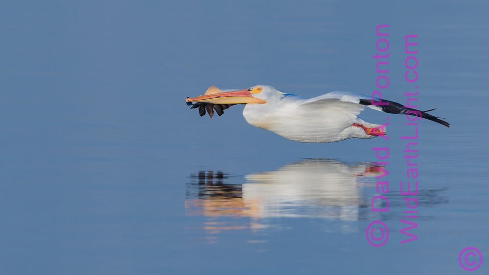 American white pelican glides over the surface of the Salton Sea in the first sunlight of the morning, California, © David A. Ponton
