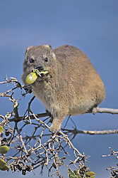 July 6, 2015 - Common Rock Hyrax, eating on tree South Africa  (Credit Image: © Tuns/DPA/ZUMA Wire)