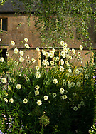 Cephalaria gigantea (Giant Scabius) in a border at Lower Severalls Farmhouse,  Crewkerne, Somerset, UK