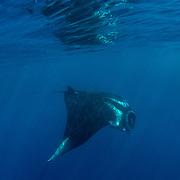 Giant oceanic manta ray, Manta birostris, feeding near the surface, Honda Bay, Palawan, the Philippines, Sulu Sea Oceanic manta ray ( Manta birostris ), Honda Bay, Palawan, the Philippines