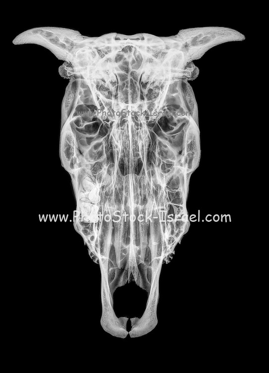 Top view X-ray of a skull of a cow on black background