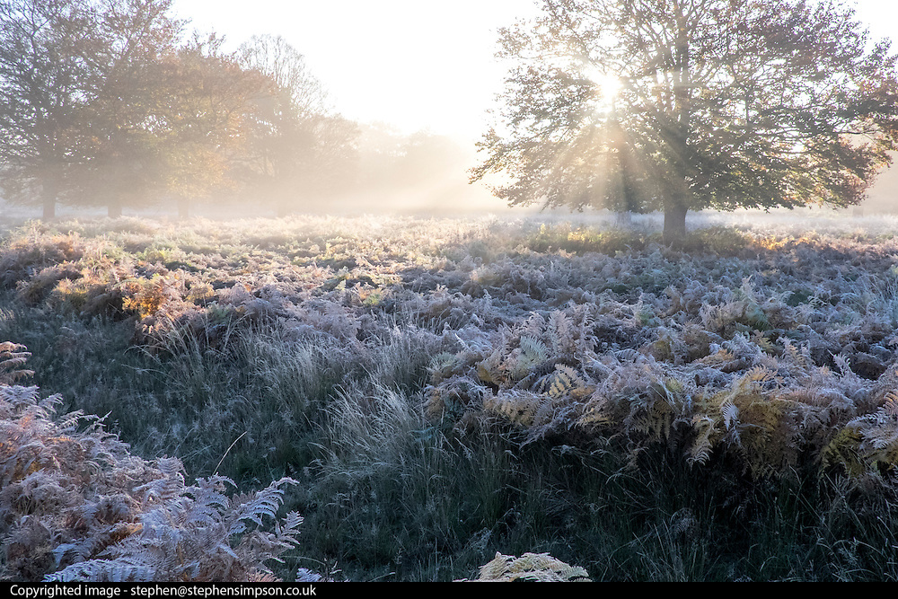 © Licensed to London News Pictures. 02/11/2016. Richmond, UK. Frosty bracken is lit by the early sunshine.  Deer in the frost in Richmond Park London today 2nd November 2016. much of the country experienced a frost overnight. Photo credit : Stephen Simpson/LNP