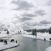 Bison near Old Faithful in Yellowstone National Park during winter.