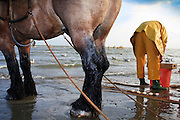 Sorting out the catch. A dying tradition - Shrimp fishing on horseback in Oostduinkerke, Belgium.