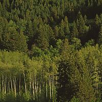 An aspen grove grows amid a Douglas fir forest.