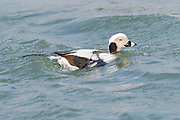Long-tailed Duck spending the winter on Delaware coast as the waves show the beautiful waterproofing essential to their survival