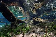 Piraputangas (Brycon hilarii) in einem klaren Karstfluss, Bonito, Brasilien<br /> <br /> Piraputangas (Brycon hilarii) in a clear karst river, Bonito, Brazil