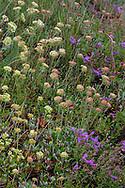 Alpine widflowers on Werner Peak, Stillwater State Forest, Montana, USA