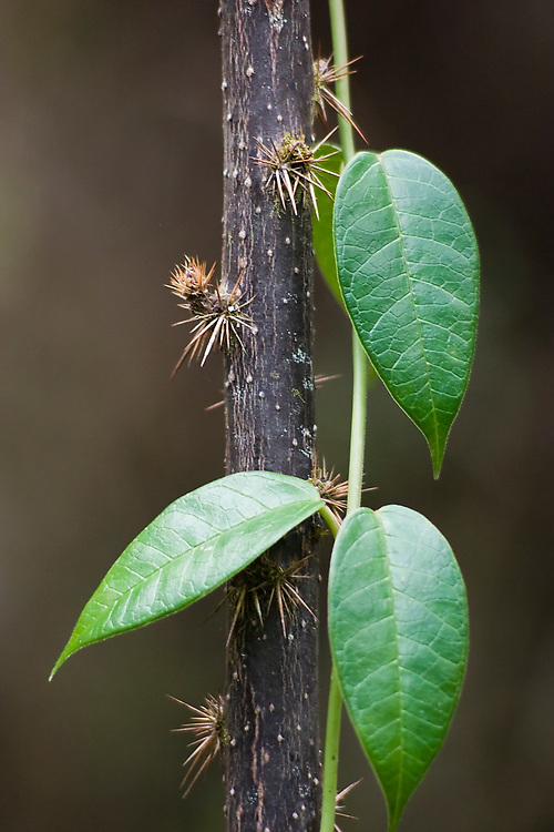 A gentle green leafy vine grows around a branch covered in sharp spines in the cloud forest along the Inca Trail to Machu Picchu, Peru.