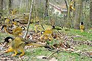 Verjaardag musical Tarzan in de Apenheul .<br /> <br /> Donderdag 27 maart bestaat de legendarische musical Tarzan 1 jaar! Vorig jaar was op deze datum de eerste voorstelling te zien van Tarzan in het Fortis Circustheater in Scheveningen. Dit moet gevierd worden. Om die reden trakteren Chantal Janzen (Jane), Ron Link (Tarzan)en Jeroen Phaff (Korchak) uit de musical Tarzan, alle apen in Nederland de komende week op 'apengebak'! <br /> <br /> Op de foto:  doodshoofdaapjes in Apenheul