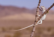 Desert Iguana, Dipsosaurus dorsalis