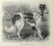 Persian Greyhound From the book ' Royal Natural History ' Volume 1 Section II Edited by  Richard Lydekker, Published in London by Frederick Warne & Co in 1893-1894