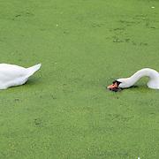 Nederland Rotterdam Deelgemeente prins alexander 08-09-2008 20080908 Foto: David Rozing .Prinsenland, 2 zwanen eten kroos.swans..Foto: David Rozing