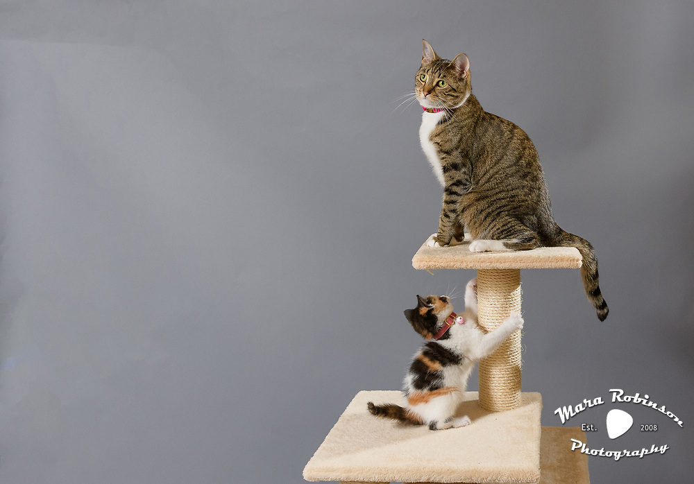 These two cats, a tiger striped brown tabby and a cute calico kitten, are Lennox and Sloan of cat instagram Lennon and Sloan, Two Lucky Rescue Cats. Here, they sit atop their carpeted tan brown cat condo perch. Photo by Pet Photographer Mara Robinson Photography