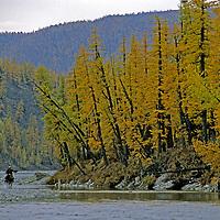 MONGOLIA, Darhad Valley, Horseman splashes through creek on Jigleg Pass, under fall-colored larch trees.