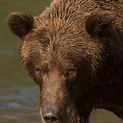 Alaskan Brown Bear (Ursus middendorffi) Portrait of adult. Katmai National Park. Alaska.