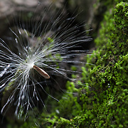 A wind-dispersed seed clings to a tree truck on Ile aux Aigrettes, a small island off the Southeast coast of Mauritius that is managed by the Mauritian Wildlife Foundation. The island has been revegetated with native plants.