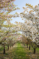 Avenue of ornamental cherries at Brogdale National Fruit Collection. Prunus 'Taihaku' on right, Prunus x yedoensis - Yoshino cherry - on right