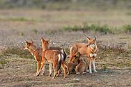 Äthiopischer Wolf (Canis simensis) im Bale Mountains Nationalpark im Web Valley in der Region Sodota. Alpha-Fähe des Megitti Rudels beim Säugen der Welpen vor dem Bau