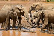 Elephants drinking in the river Ewaso Ng'iro, Samburu National Reserve, Kenya.