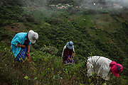 La Paz, Bolivia. 13/01/2020. A family of cocaleros harvests coca leaves in a plant near the village of Huancane, in the Yungas region, a traditional coca growing area of Bolivia.