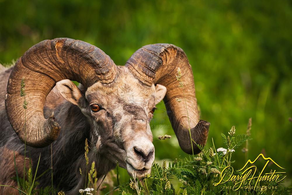 Trophy Bighorn Sheep Ram outside of Hinton Alberta in the Canadian Rockies
