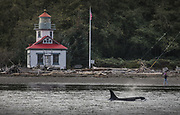 A southern resident orca cruises past the lighthouse at Point Robinson Park on Maury Island. (Steve Ringman / The Seattle Times, taken under NOAA permit #21348, 2018)