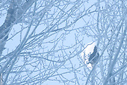 FROZEN MOON | Ruffed grouse (Bonasa umbellus) pauses to watch moonset on a record setting (-43C) January morning. Blackfoot Valley, Montana.