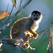 Squirrel Monkey (Saimiri sciureus) foraging in trees in southwest Costa RIca.