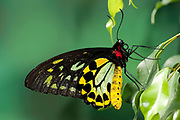Green Birdwing Butterfly, Ornithoptera priamus, Australia & New Guinea, Male, large, colourful, yellow, green, black