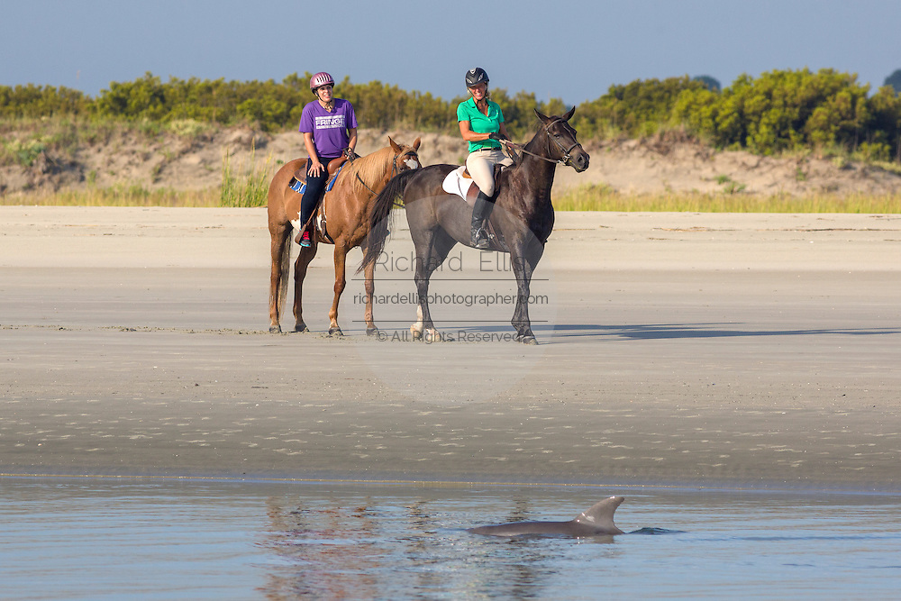 Tourists on horseback watch Atlantic bottlenose dolphins as they swim past during strand feeding at Captain Sam's Inlet September 3, 2014 in Seabrook Island, SC. This unusual practice involves a group of dolphins herding a school of fish onto the beach and then launching their bodies out of the water and onto the shore to feed and is only found in a few places on earth.