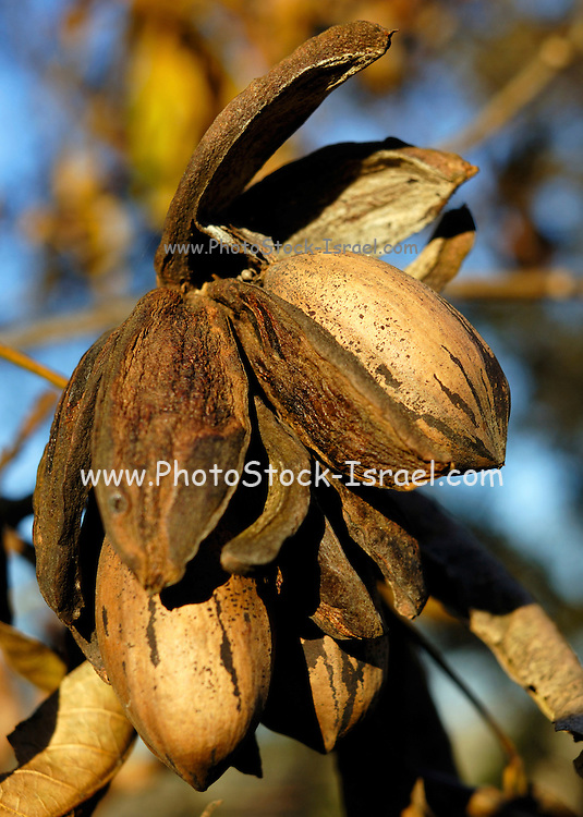 pecans on a tree