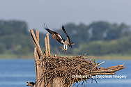 00783-02116 Osprey (Pandion haliaetus) landing with stick at nest Rend Lake Jefferson Co. IL