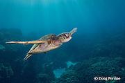 green sea turtle or honu, Chelonia mydas, swimming over coral reef, Honaunau, Kona, Hawaii ( Central Pacific Ocean )
