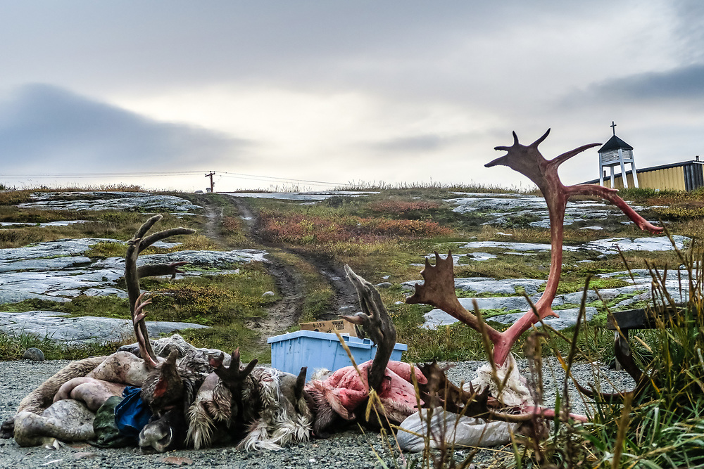 Hunting caribou is part of the Inuit culture.