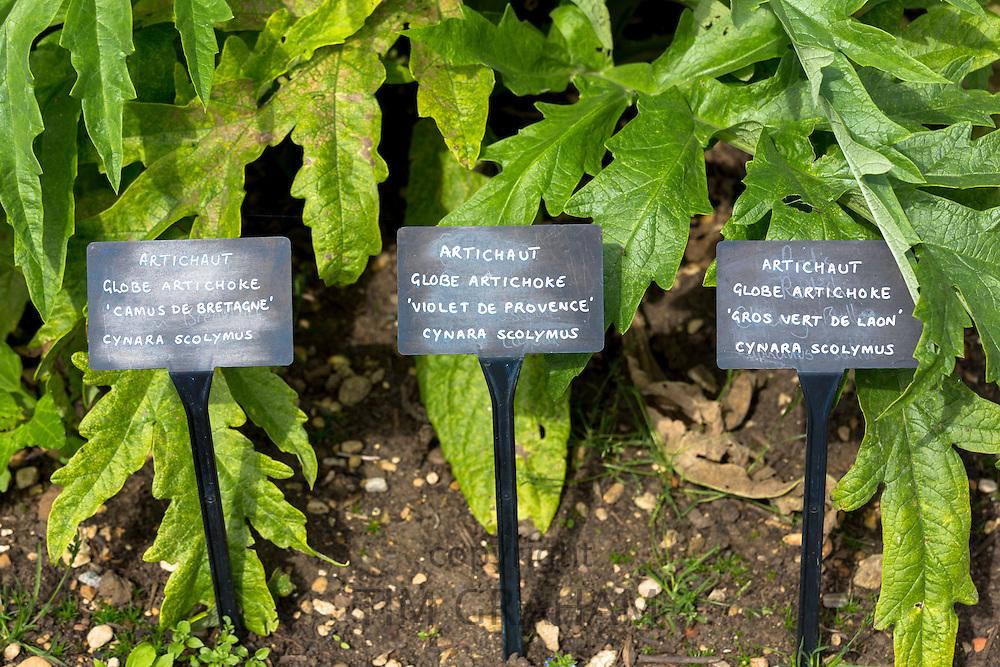 Globe artichokes varieties, Cynara scolymus, in organic vegetable garden at Raymond Blanc's Hotel in Oxfordshire UK