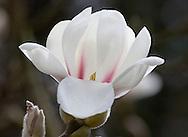 Magnolia denudata 'Purple Eye'  The Valley Gardens, Surrey, UK