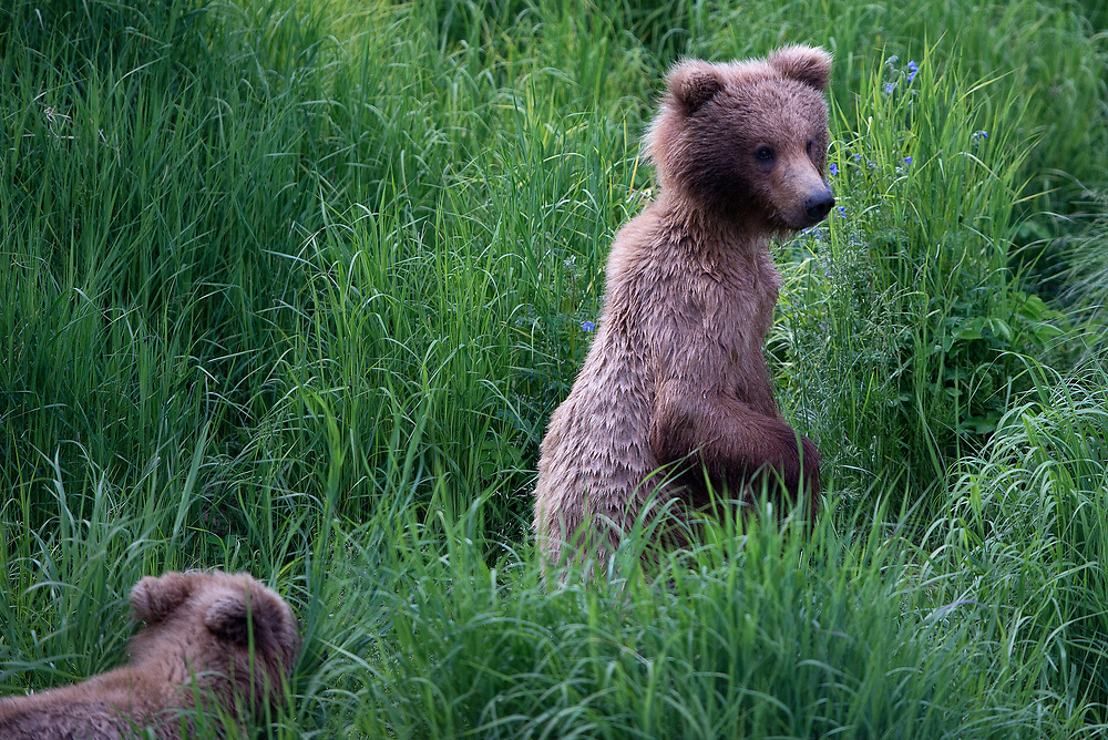 Brown bear cubs belonging to Bear 409, summer of 2017.