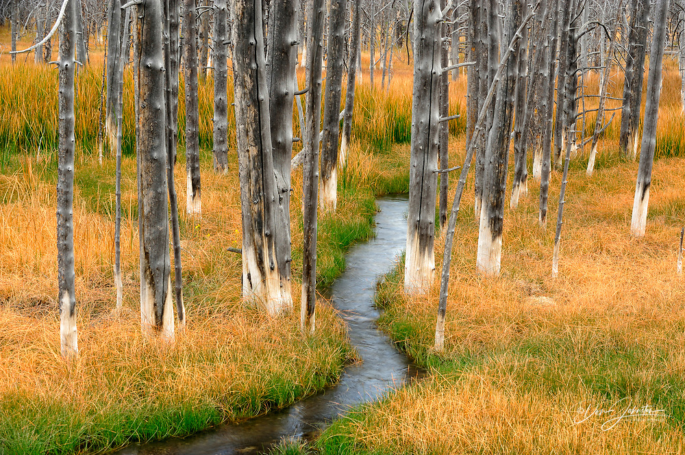 Wetlands with grasses, dead tree snags and stream, Yellowstone NP, Wyoming, USA