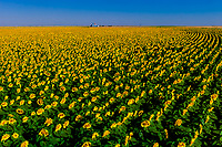 Sunflower fields, Schields & Sons Farm, near Goodland, Western Kansas USA.