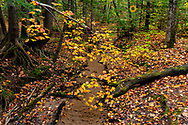 Drooping maple tree over small creek near Marquette, Michigan, USA