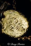 gold treasure pieces from the wreck of the Nuestra Senora de Atocha or Santa Margarita, Spanish treasure galleons sunk in 1622 off the coast of Key West, Florida, USA