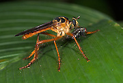 Robber Fly, Asilidae sp. with fly, Hacienda Baru, Costa Rica, tropical jungle, South America, predator, on leaf, feeding.Central America....