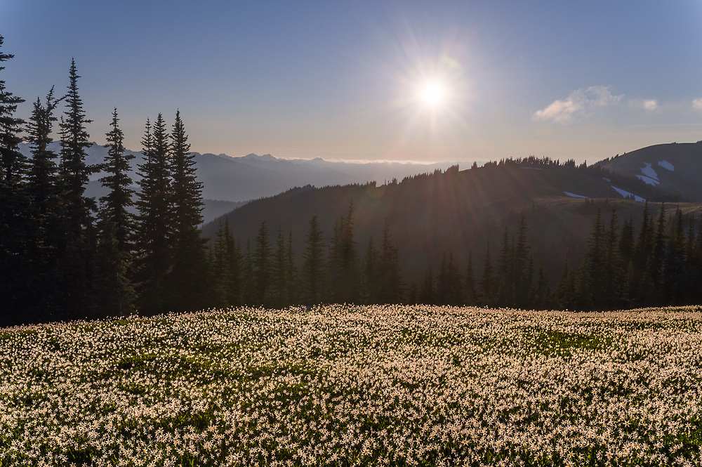 Alpine meadow populated with avalanche lilies (Erythronium montanum), afternoon light, July,  Bailey Range in the distance, Elwha River watershed, Olympic National Park, Washington, USA