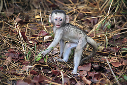 June 23, 2015 - Young Green Monkey, Kruger national park, South Africa / (Cercopithecus aethiops) / Savanna Monkey, Grivet Monkey, Vervet Monkey (Credit Image: © Tuns/DPA/ZUMA Wire)