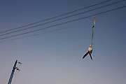 A bird of prey hangs from electrical wires after being killed by a local pigeon farmer, whose birds he is trying to protect at Dahkla Oasis, Western Desert, Egypt. Most birds including flamingos, stalks, cranes and all large birds of prey are protected under Egyptian law. The Western Desert covers an area of some 700,000 km2, thereby accounting for around two-thirds of Egypt's total land area. Dakhla Oasis is one of the seven oases of Egypt's Western Desert (part of the Libyan Desert).