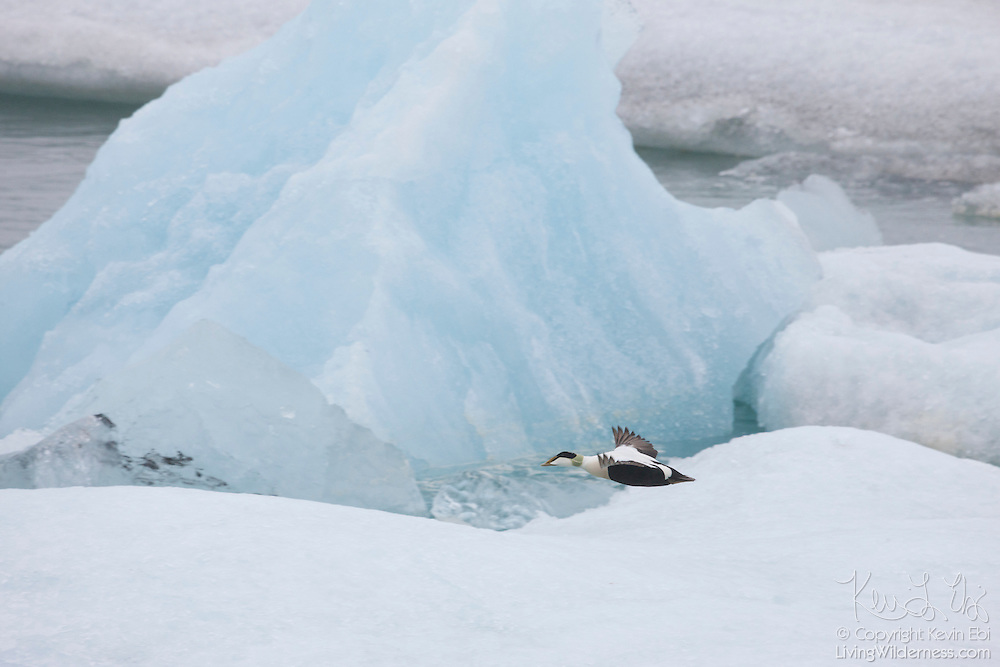A male common eider (Somateria mollissima) flies past icebergs floating in Jökulsárlón, the glacier lagoon in Iceland.